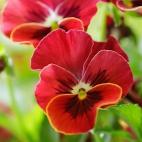 """Защитное стекло """"Красный цветок"""" 600*600*4 мм"""