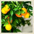 """Защитное стекло """"Апельсиновое дерево"""" 600*600*4 мм"""